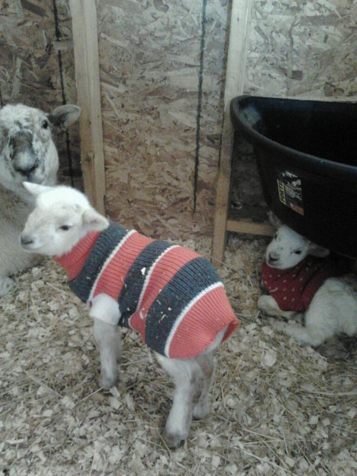 katahdin ewe and ram lamb